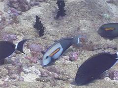 Orangeband surgeonfish feeding on rubble, Acanthurus olivaceus, UP5233 Stock Footage