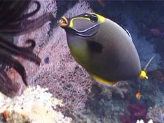 Orangespine unicornfish feeding, Naso lituratus, UP5235 Stock Footage