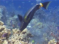 Orangespine unicornfish feeding, Naso lituratus, UP5237 Stock Footage
