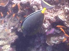 Orangespine unicornfish feeding, Naso lituratus, UP5239 Stock Footage