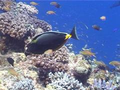 Orangespine unicornfish feeding, Naso lituratus, UP5241 Stock Footage