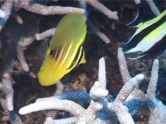 Juvenile Sailfin tang swimming, Zebrasoma velifer, UP5244 Stock Footage