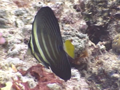 Sailfin tang feeding, Zebrasoma velifer, UP5245 Stock Footage