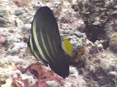 Sailfin tang feeding, Zebrasoma velifer, UP5245 Stock Footage