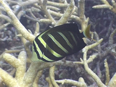 Sailfin tang swimming, Zebrasoma velifer, UP5247 Stock Footage