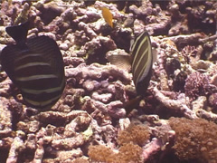Sailfin tang swimming, Zebrasoma velifer, UP5248 Stock Footage