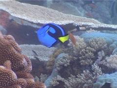 Palette surgeonfish swimming, Paracanthurus hepatus, UP5258 Stock Footage