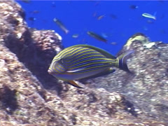 Lined surgeonfish swimming, Acanthurus lineatus, UP5270 Stock Footage