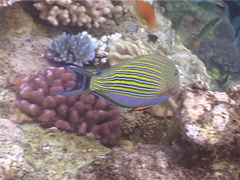 Lined surgeonfish swimming, Acanthurus lineatus, UP5274 Stock Footage