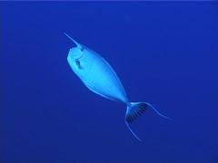 White margin unicornfish swimming in bluewater, Naso annulatus, UP5279 Stock Footage