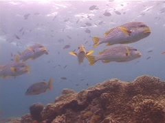 Lined sweetlips hovering and schooling, Plectorhinchus lineatus, UP5280 Stock Footage