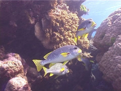 Lined sweetlips hovering and schooling, Plectorhinchus lineatus, UP5285 Stock Footage