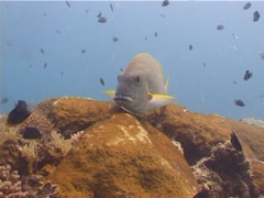 Goldstriped sweetlips hovering, Plectorhinchus chrysotaenia, UP5292 Stock Footage