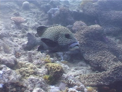 Many spotted sweetlips cleaning and being cleaned, Plectorhinchus Stock Footage