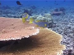 Oriental sweetip swimming, Plectorhinchus vittatus, UP5309 Stock Footage