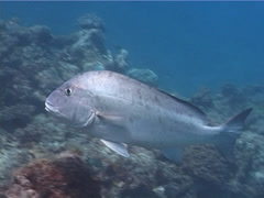 Mother-in-law fish swimming, Diagramma picta, UP5312 Stock Footage