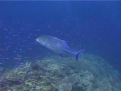 Bluefin trevally swimming, Caranx melampygus, UP5337 Stock Footage