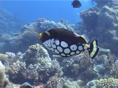 Clown triggerfish swimming on shallow coral reef, Balistoides conspicillum, Stock Footage