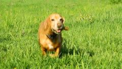 Cocker spaniel runing on the green grass Stock Footage