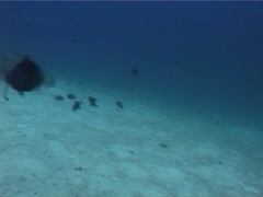 Red tooth triggerfish attacking and schooling, Odonus niger, UP5379 Stock Footage