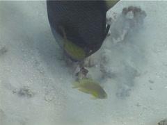 Titan triggerfish feeding, Balistoides viridescens, UP5385 Stock Footage