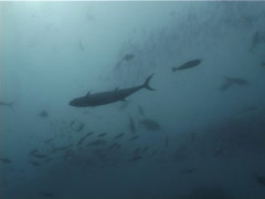 Dogtooth tuna swimming in bluewater, Gymnosarda unicolor, UP5419 Stock Footage