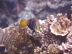 Barred thicklip swimming, Hemigymnus fasciatus, UP5424 Stock Footage
