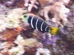Barred thicklip feeding, Hemigymnus fasciatus, UP5425 Stock Footage