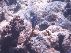 Barred thicklip feeding, Hemigymnus fasciatus, UP5428 Stock Footage