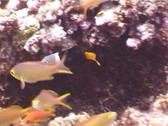 Juvenile Blackeye thicklip feeding, Hemigymnus melapterus, UP5449 Stock Footage