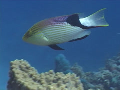Blackfin hogfish swimming, Bodianus loxozonus, UP5453 Stock Footage