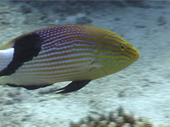Blackfin hogfish swimming, Bodianus loxozonus, UP5454 Stock Footage