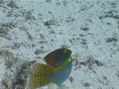Checkerboard wrasse swimming, Halichoeres hortulanus, UP5462 Stock Footage