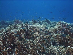 Cnidarians | Fire Corals | Fire Coral | Shallow Coral Reef | Wide Shot - stock footage