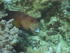 Juvenile Cleaner wrasse cleaning and being cleaned, Labroides dimidiatus, UP5479 Stock Footage