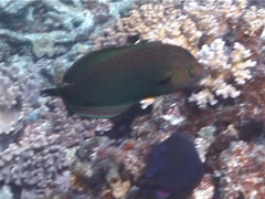 Dusky wrasse swimming, Halichoeres marginatus, UP5503 Stock Footage