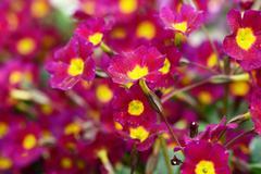 Flower lilac primrose a background Stock Photos