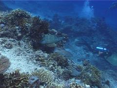 Humphead maori wrasse hunting on deep coral reef, Cheilinus undulatus, UP5512 Stock Footage
