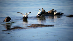 Eider birds with ducklings Stock Footage