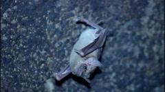 Bat close up Stock Footage