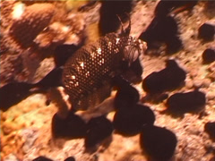 Rockmover wrasse swimming, Novaculichthys taeniourus, UP5533 Stock Footage