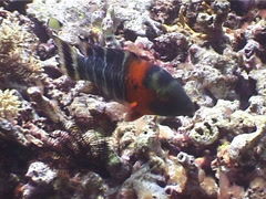 Scarlet breasted maori wrasse swimming, Cheilinus fasciatus, UP5539 Stock Footage