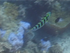 Sixbar wrasse swimming, Thalassoma hardwicke, UP5543 Stock Footage