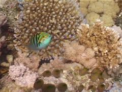 Sixbar wrasse swimming, Thalassoma hardwicke, UP5544 Stock Footage
