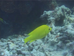Slingjaw wrasse hovering, Epibulus insidiator, UP5549 Stock Footage