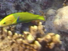 Sunset wrasse swimming, Thalassoma lutescens, UP5558 Stock Footage