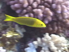 Sunset wrasse swimming, Thalassoma lutescens, UP5559 Stock Footage