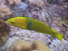 Sunset wrasse swimming, Thalassoma lutescens, UP5561 Stock Footage