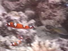 Juvenile Yellow-tail coris swimming, Coris gaimard, UP5566 Stock Footage