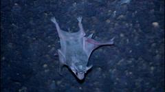 Infant bat Stock Footage